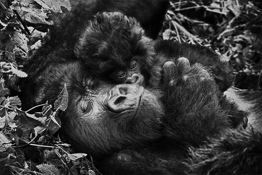 Un jeune gorille et un plus vieux font un calin