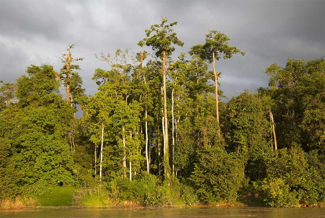La forêt tropicale longeant le fleuve Kinabatangan