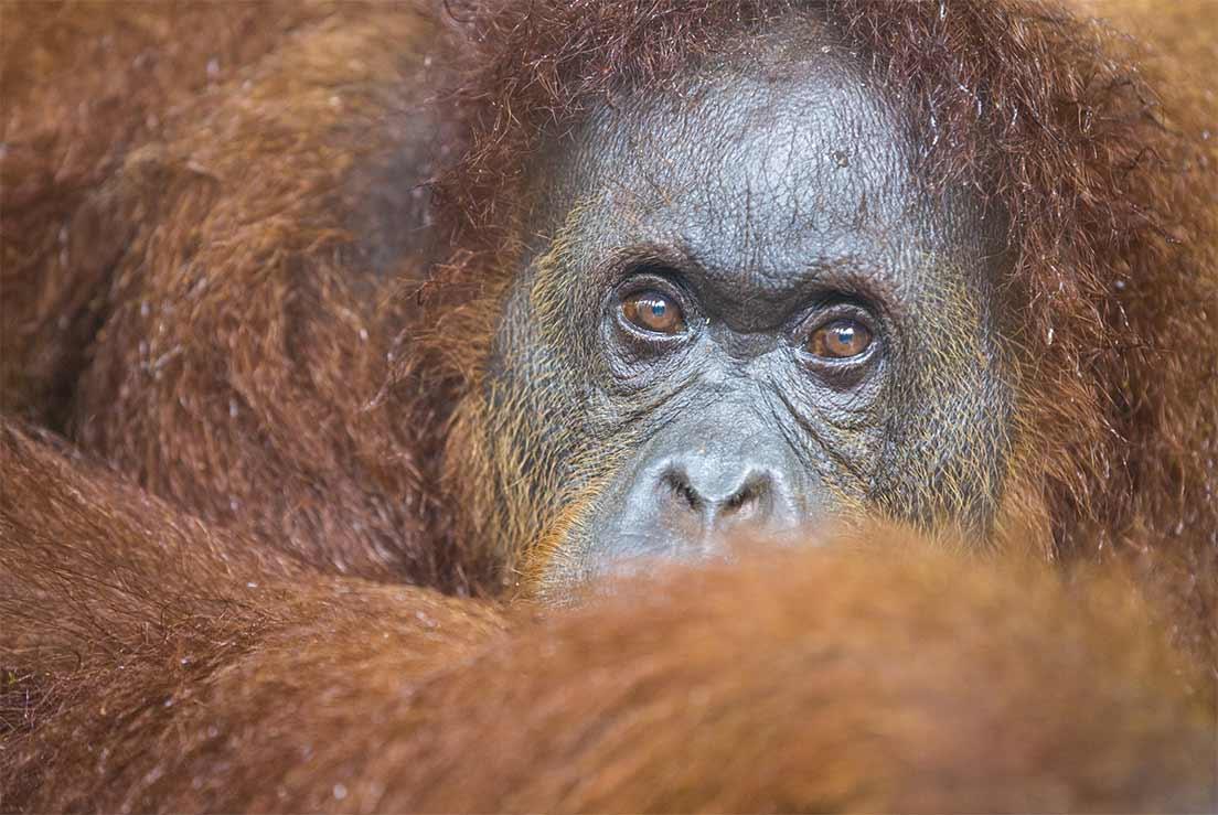 Gros plan sur un Orang-outan de Bornéo