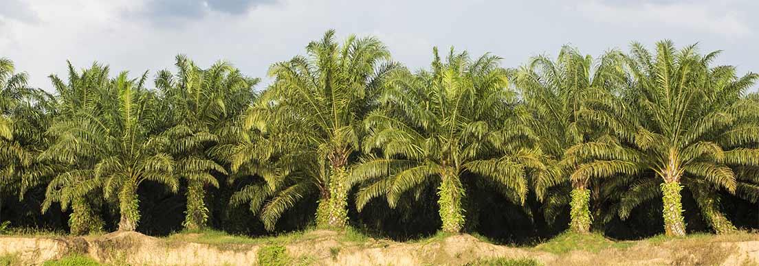 Un rangée de palmiers à huile