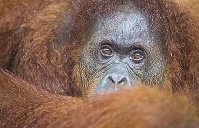 Photographie de Gilles Martin : Orang-outan, Bornéo.