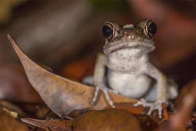 Photographie de Gilles Martin : Amphibien de Bornéo
