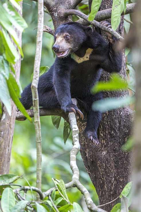 Photographie de Gilles Martin : Un ours de Bornéo