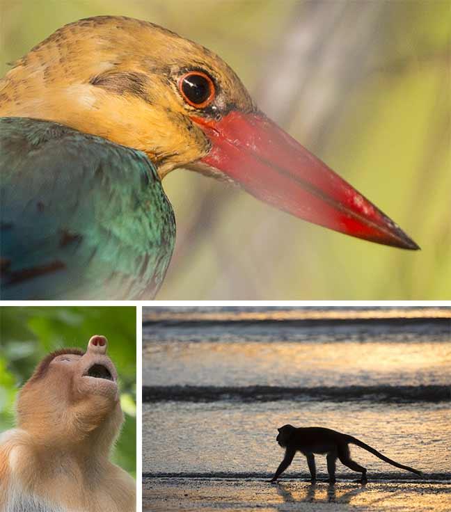 Photographies de Gilles Martin : Nasique et singe de Bornéo