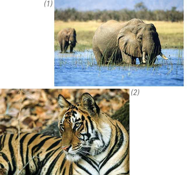 Le braconniers menacent la vie des tigres et des éléphants.