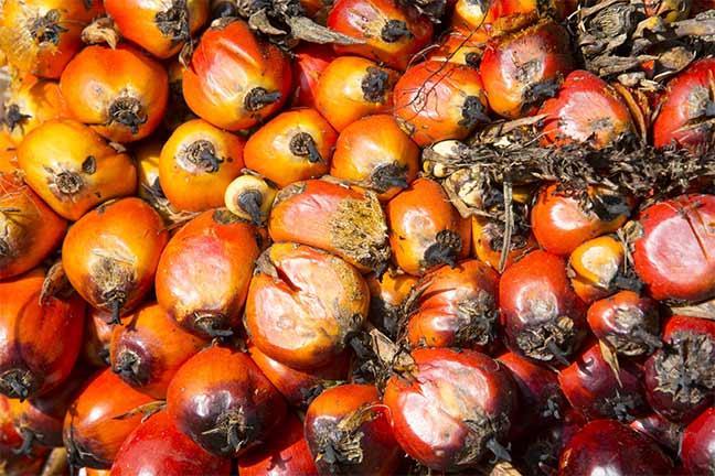 Photographie de Gilles Martin : Le fruit du palmier à huile (Elaeis guineensis).