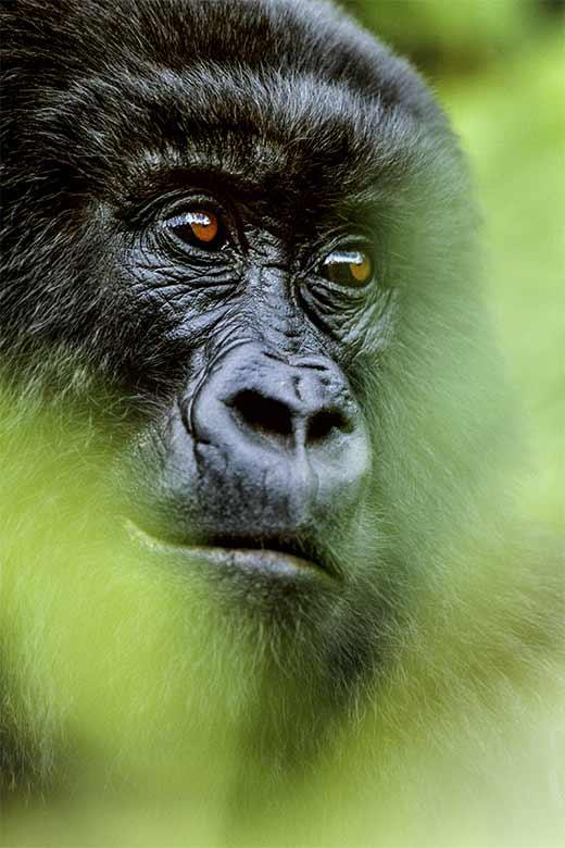 Portrait du gorille de montagne du Congo