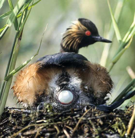 Un grèbe à coup noir pond dans son nid