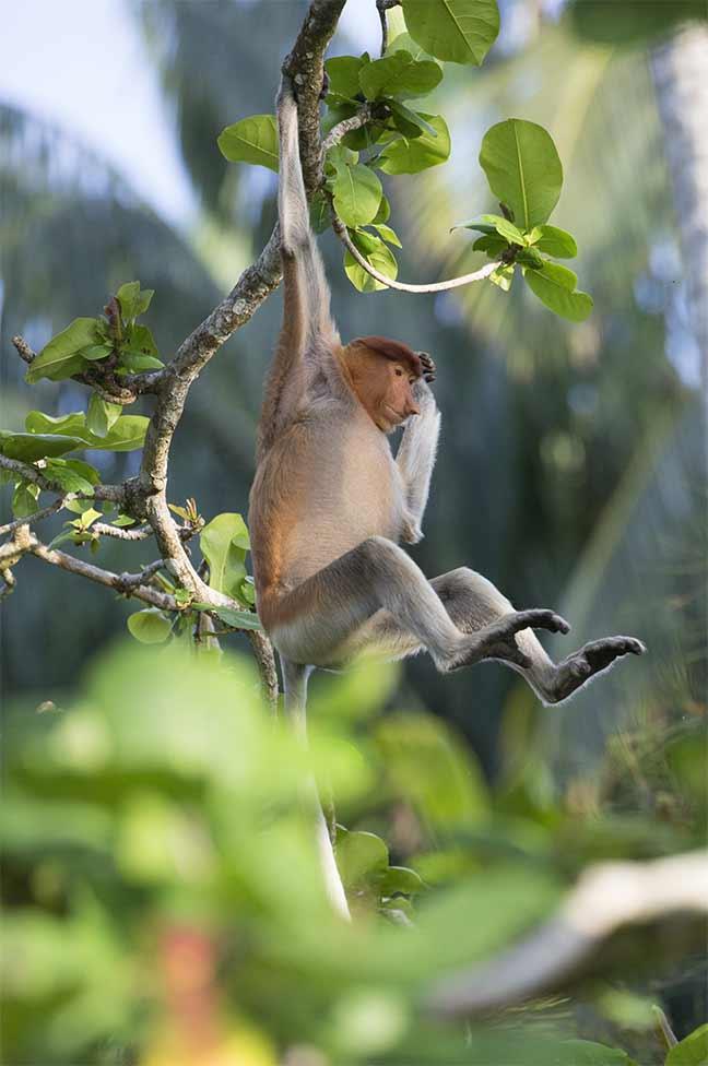 Photographie de Gilles Martin : L'emblématique Nasique (Nasalis larvatus), est un primate endémique à Bornéo.
