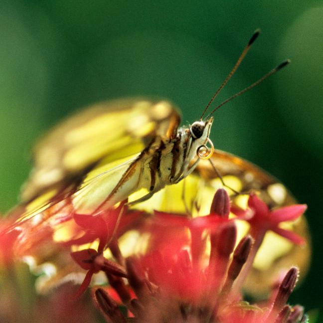 Photographie d'un magnifique papillon amazonien