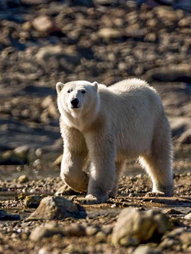 Photographie d'ours polaire de Charles Cherrier