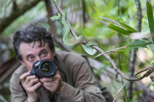Photographie de Dany Grahek : Rencontre avec la Wagler's Pit viper (Tropidolaemus wagleri).