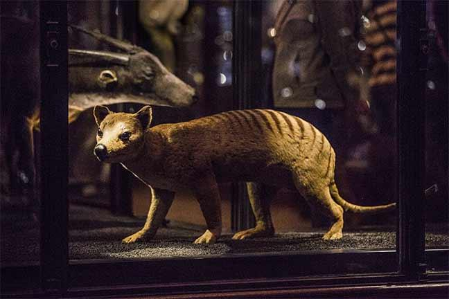 Stuffed Tasmanian tiger in a museum
