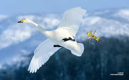 Aperçu de l'image Wooper swan