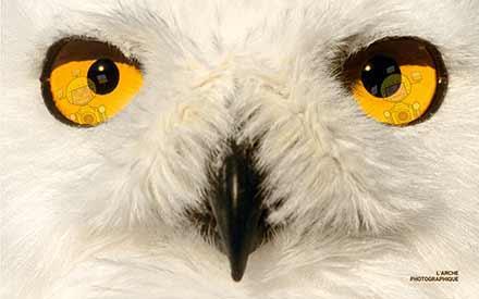 Aperçu de l'image Snow owl