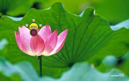 Aperçu de l'image Lotus flower